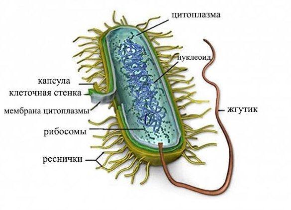 Что такое микоплазма