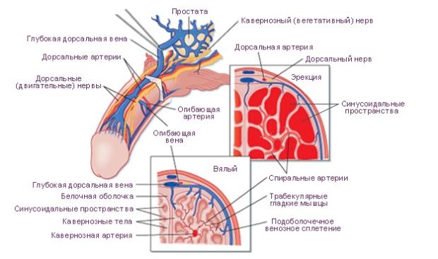 bistro-postupatelnaya-sperma-lechenie