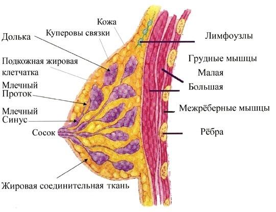 Строение молочных желез и развитие рака