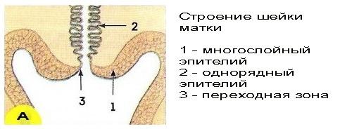 Строения многослойного плоского эпителия шейки матки
