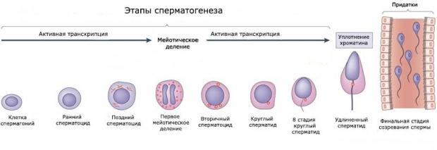Повысить сперматогенез