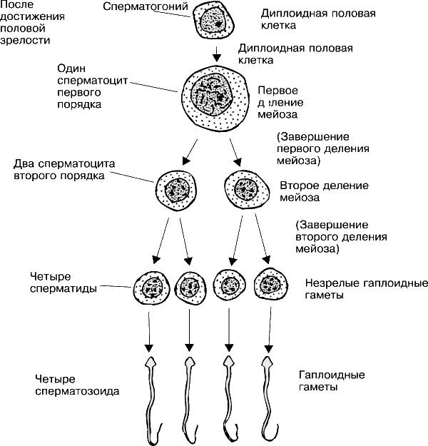 Схема сперматогенеза