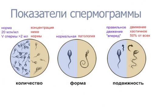skolko-minut-zhivut-spermatozoidi
